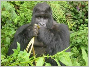 Gorille mangeant un fruit