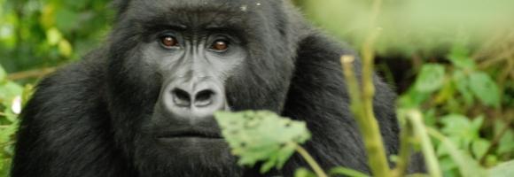 Gorille, une espèce à protéger